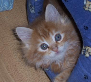 MAINE COON BABY - Free Stock Photo