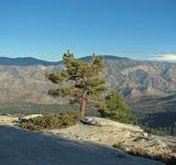 Free Photo - Lone Pine in Needles