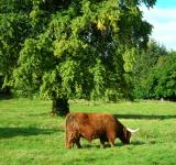 Free Photo - Highland's cow