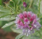 Free Photo - Alfalfa flower