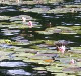 Free Photo - Lilly Pads