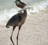 Free Photo - Heron at Turtle Beach Fla