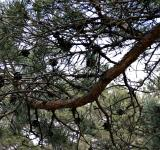 Free Photo - Pine tree branches