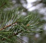 Free Photo - Pine tree closeup