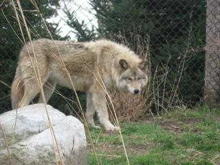 Download Grey Wolf Free Photo