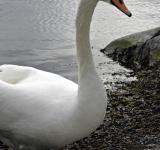 Free Photo - Swan Closeup