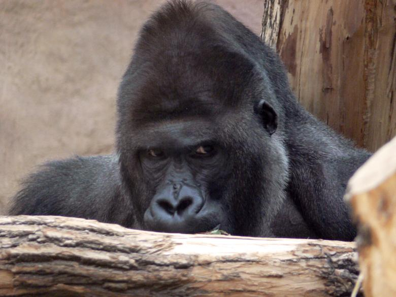 Free Stock Photo of Gorilla Created by Ladislav Soukup