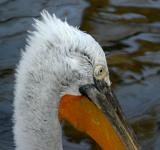 Free Photo - Pelecanus crispus