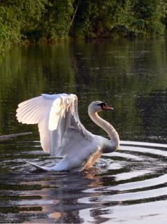 Download Swan Free Photo