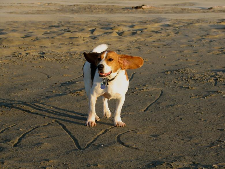 Free Stock Photo of Beagle on the beach Created by Derek Helt