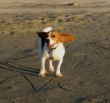 Free Photo - Beagle on the beach