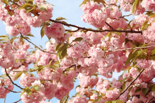 Pink Blossoms - Free Stock Photo
