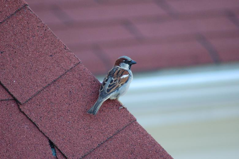 Free Stock Photo of Bird on the Roof Created by Mark Manalaysay