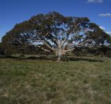 Free Photo - Snowgum bogong