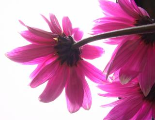 Download Pink flowers Free Photo