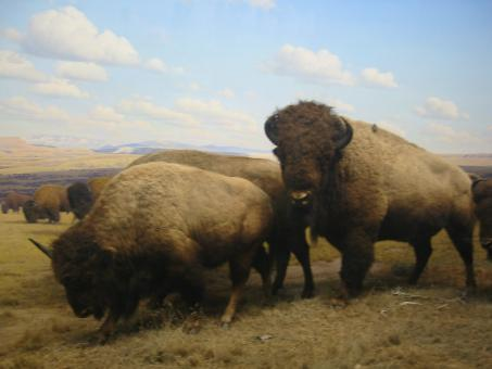 Buffalo on the plains - Free Stock Photo