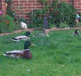 Free Photo - ducks in a garden