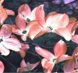 Free Photo - Dogwood in bloom