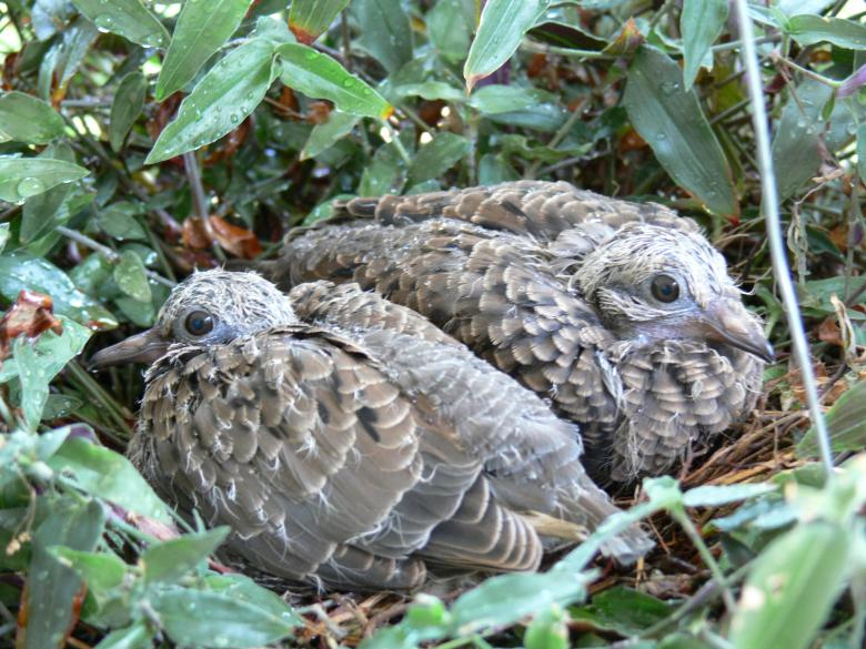 Free Stock Photo of Dove chicks in the nest Created by Dennis Smith