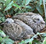 Free Photo - Dove chicks in the nest