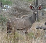 Free Photo - Greater kudu