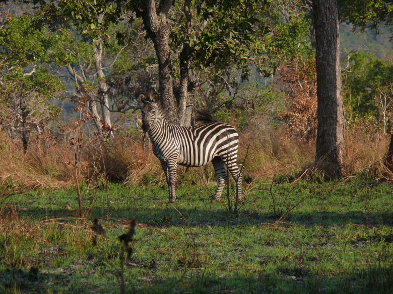 Free Stock Photo of Zebra Created by John Metzger