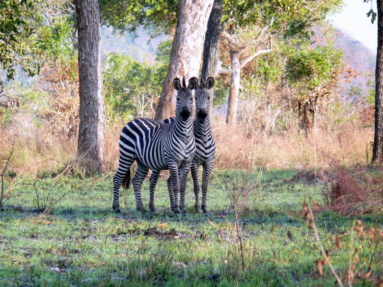 Free Stock Photo of Zebras Created by John Metzger