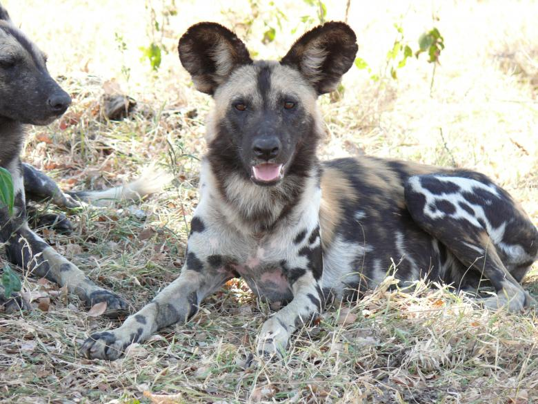 Free Stock Photo of Wild Dogs Created by John Metzger