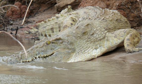 Crocodile in the wild - Free Stock Photo