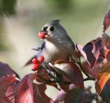 Free Photo - Tufted titmouse with a berry