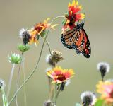 Free Photo - Monarch on the wildflower