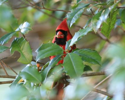 Cardinal in The Holly - Free Stock Photo