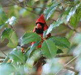 Free Photo - Cardinal in The Holly