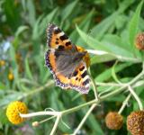Free Photo - Tortoiseshell butterfly