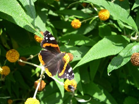Red admiral butterfly - Free Stock Photo