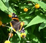 Free Photo - Red admiral butterfly