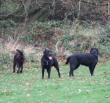 Free Photo - The Labradors