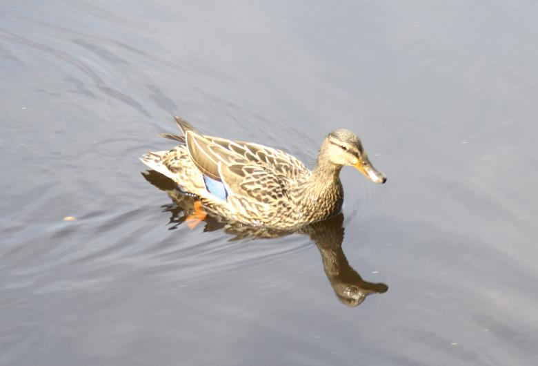 Swimming duck Free Photo