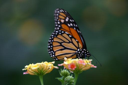 Beautiful butterfly - Free Stock Photo
