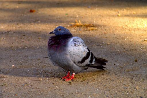 Pigeon standing - Free Stock Photo