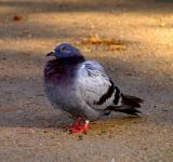 Free Photo - Pigeon standing