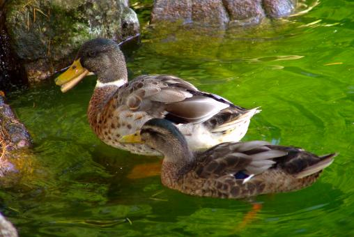 Duck mother and son - Free Stock Photo