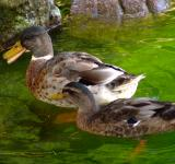 Free Photo - Duck mother and son