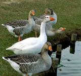 Free Photo - geeses anda ducks drinking
