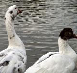 Free Photo - Goose and duck
