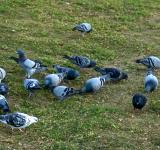 Free Photo - Pigeons in the grass