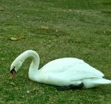 Free Photo - Swan in the green grass