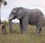 Free Photo - Botswana elephant