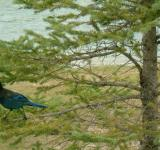 Free Photo - Birds of interior British columbia, Cana