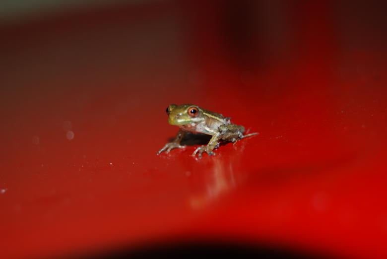 Free Stock Photo of Baby Tree Frog Created by Cheryl Recca